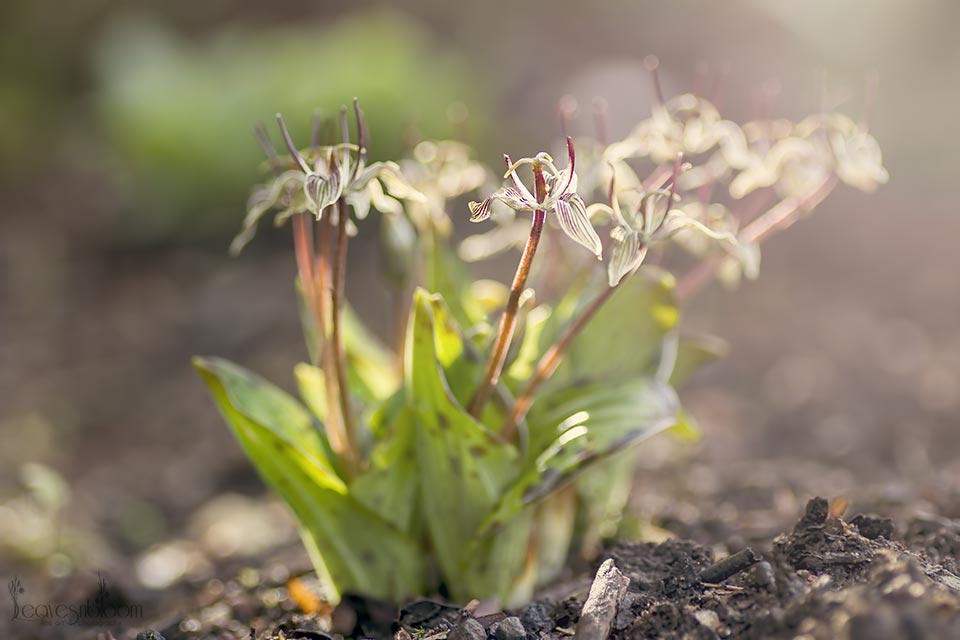Scoliopus bigelowii in flower in March