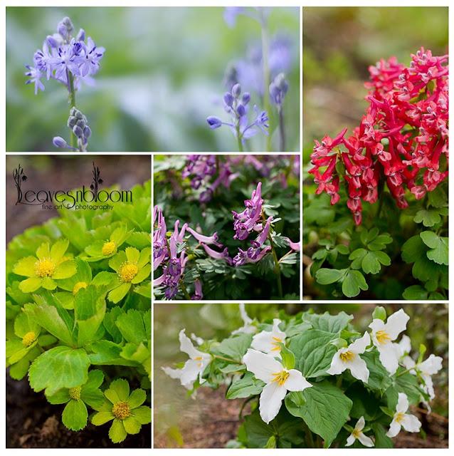 Branklyn Garden Spring flowers Scilla, Corydalis, Hacquetia and Trillum