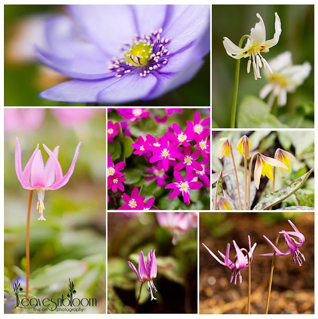 this is an image of a collage of spring flowers from Branklyn Gardens, Perth