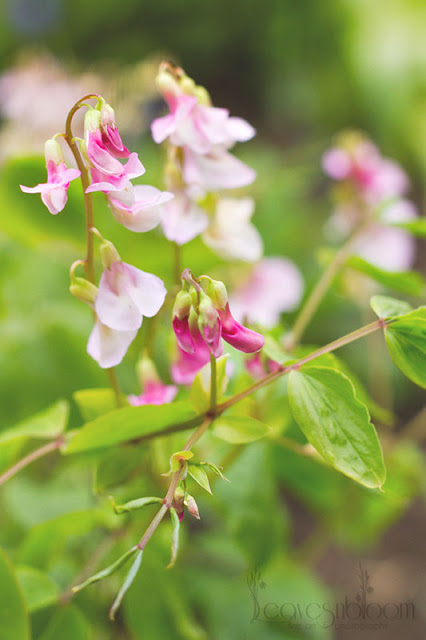 this is an image of pink Lathyrus vernus Alboroseus