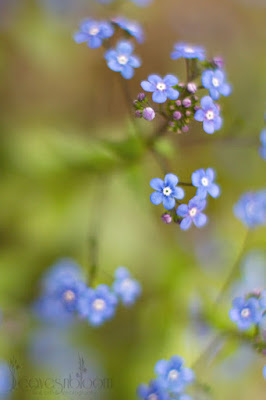this is an image of brunnera macrophylla through the looking-glass blue flower