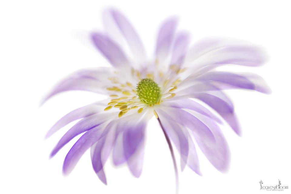 anemone blanda - Impressionist Photography