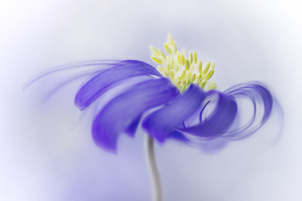 this is an image of a blue anemone blanda flower with the hint of a fine art texture done in the Impressionist Photography style.
