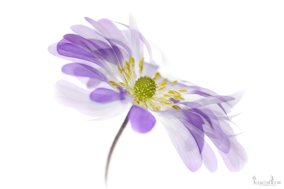 anemone blanda blue shades - Impressionist Photography