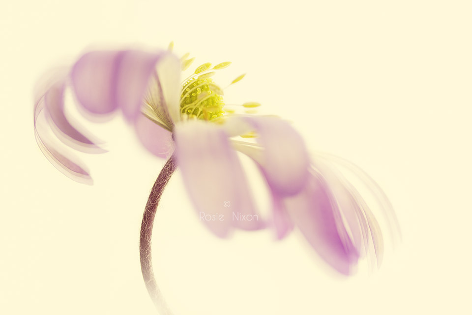 a single pink anemone blanda flower - Impressionist Photography