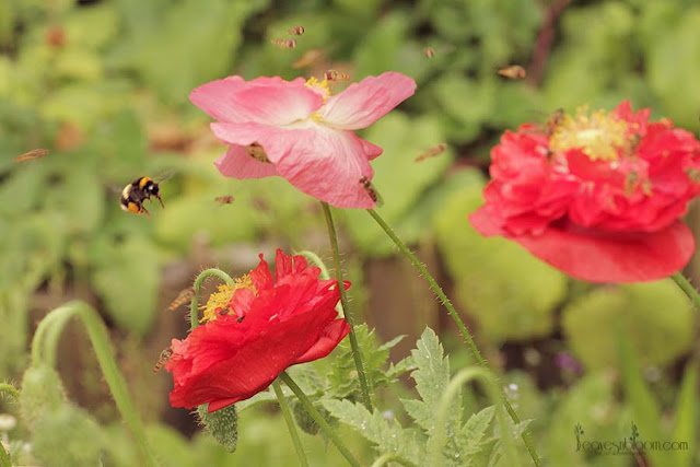 this is an image of a cloud of hoverflies and a bee surrounding Shirley Poppies