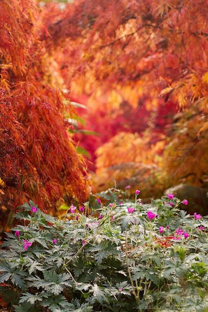 Branklyn Garden autumn foliage