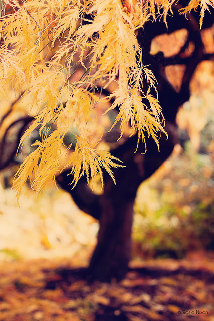 golden acer leaves in autumn