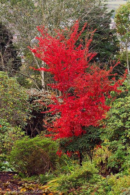 Stewartia monadelpha displaying red leaves  in Branklyn Garden in October