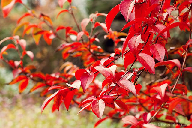 Stewartia monadelpha displaying red leaves in Branklyn Garden in October