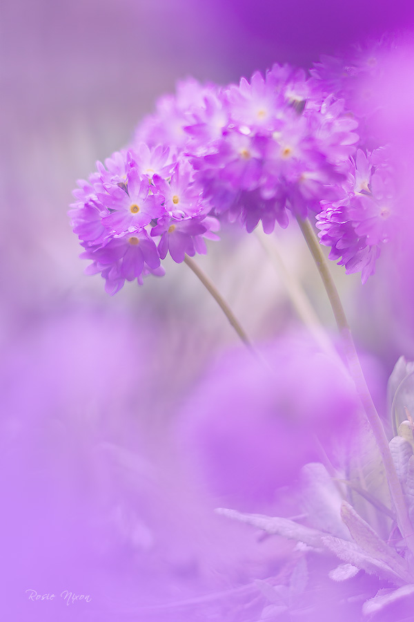 this is an image of primula denticulata drumsticks