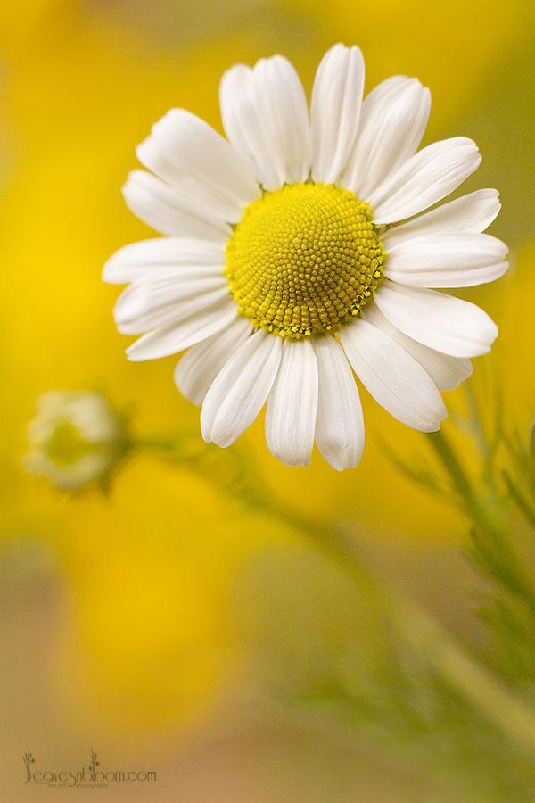 this is an image of a wildflower daisy in summer