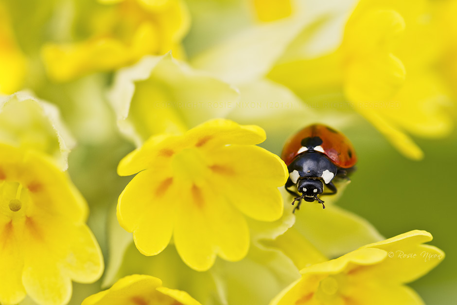this is an image of a ladybird on a yellow cowslip