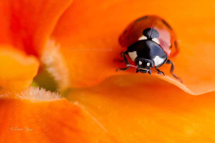 this is an image of a ladybird on an orangeViola cornuta 'Patiola Pure Orange'