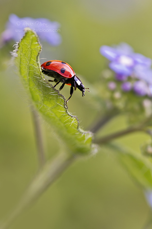 this is an image of a ladybird walking across a brunnera leaf