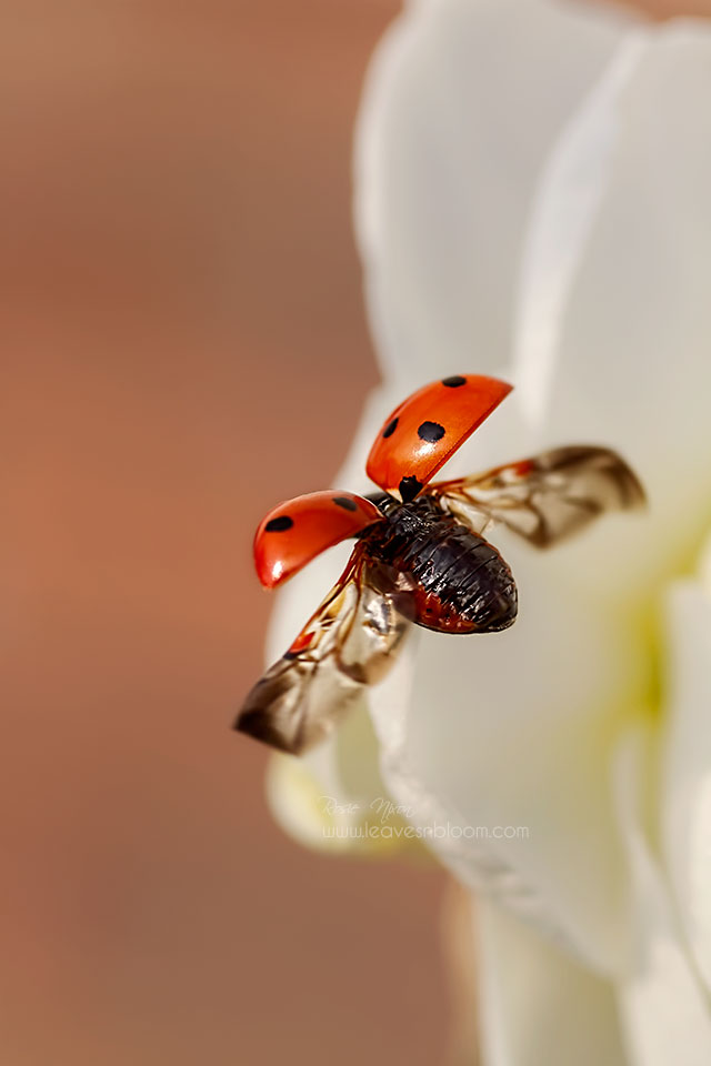 this is an image off a 7 spot ladybird flying off a white bridal crown daffodil
