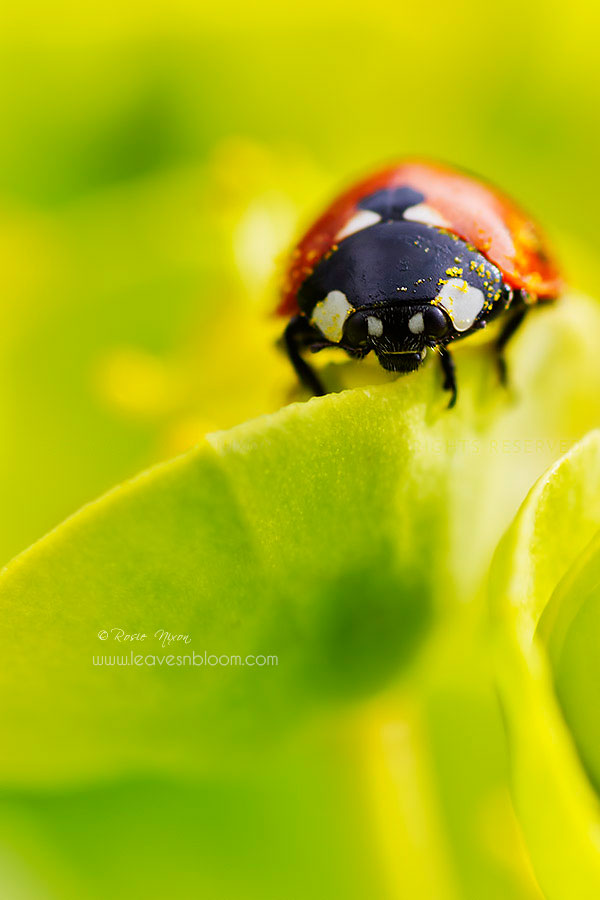 this is an image of a 7 spot ladybird on chatreuse coloured euphorbia blooms