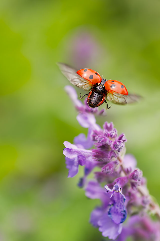 this is an image of a A 7 spot ladybird flying of a nepeta flower