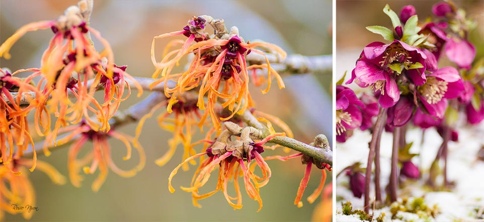 this is an image of a cerise pink hellebore and orange witchhazel Jelena flowers on a twig