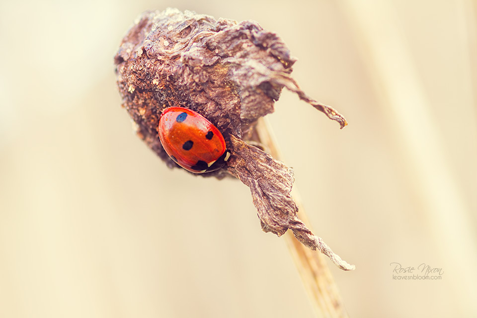 this is a ladybird in a state of dormancy