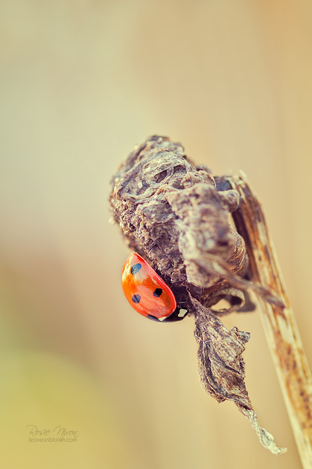 this is an image of a ladybird on a shasta daisy seedhead