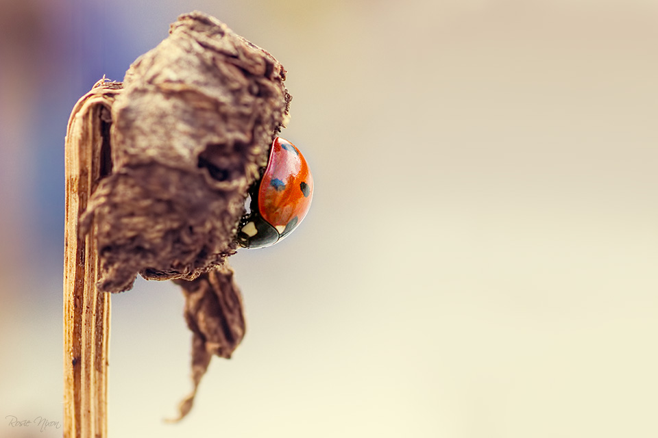 this is a ladybird in diapause on a shasta seed head