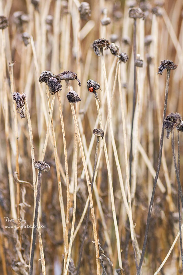 this is an image of a ladybird on a shasta daisy seedhead in January