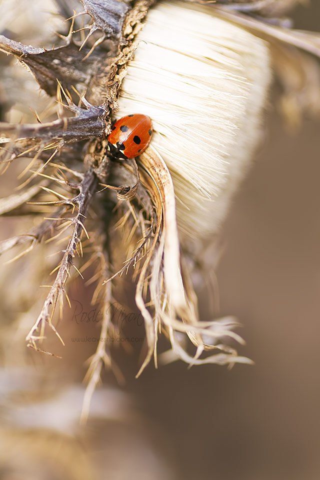 this is an image of a a 7 spot ladybird on a carlina thistle in January 2015