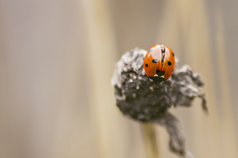 this is a A 7 spot ladybird on a  shasta daisy seedhead
