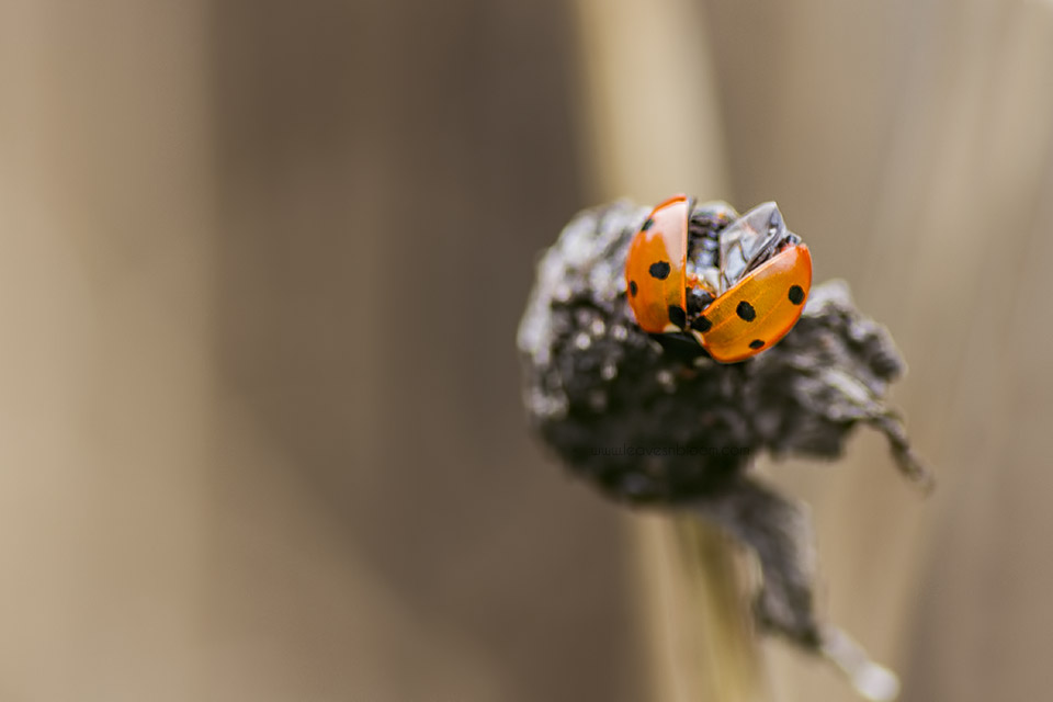 this is a ladybird opening its wings in winter