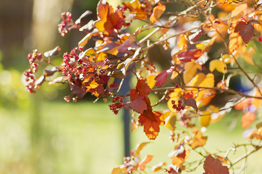 this is an image of physocarpus autumn foliage