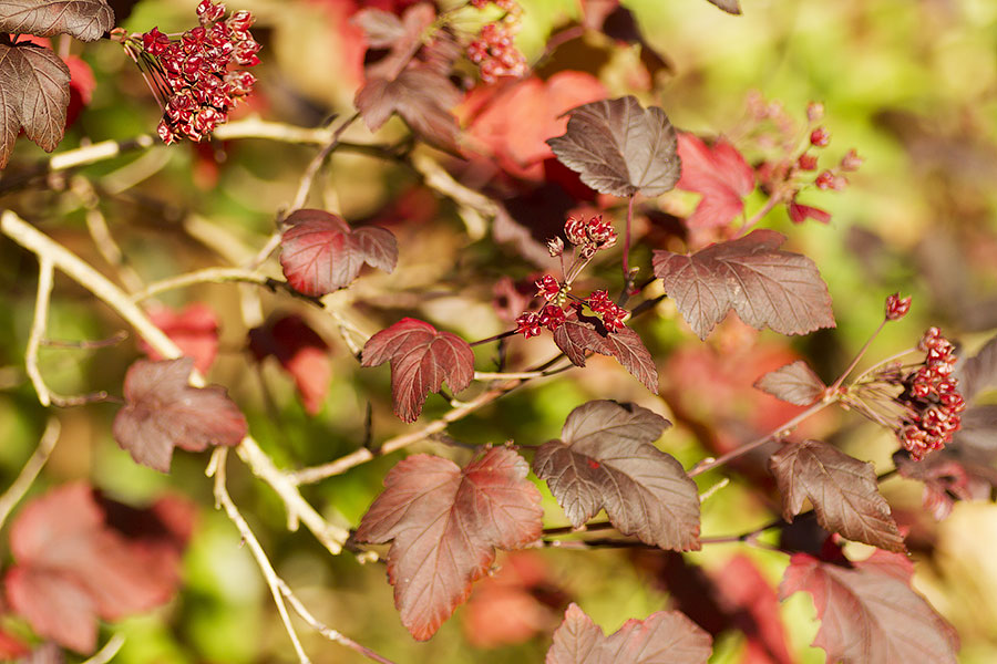 this is an image of physocarpus diablo autumn leaves