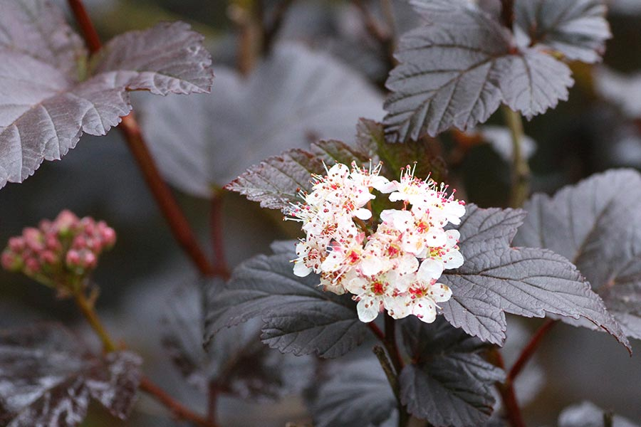 this is an image of Physocarpus opulifolius Diabolo white flowers against black leaves.