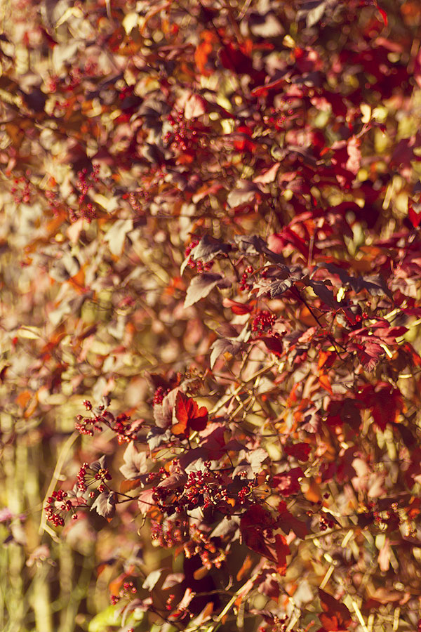 this is an image of physocarpus autumn leaves