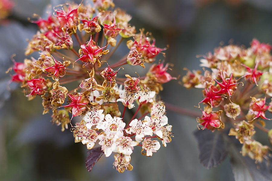 this is an image of physocarpus flowers turning to inflated red seedheads