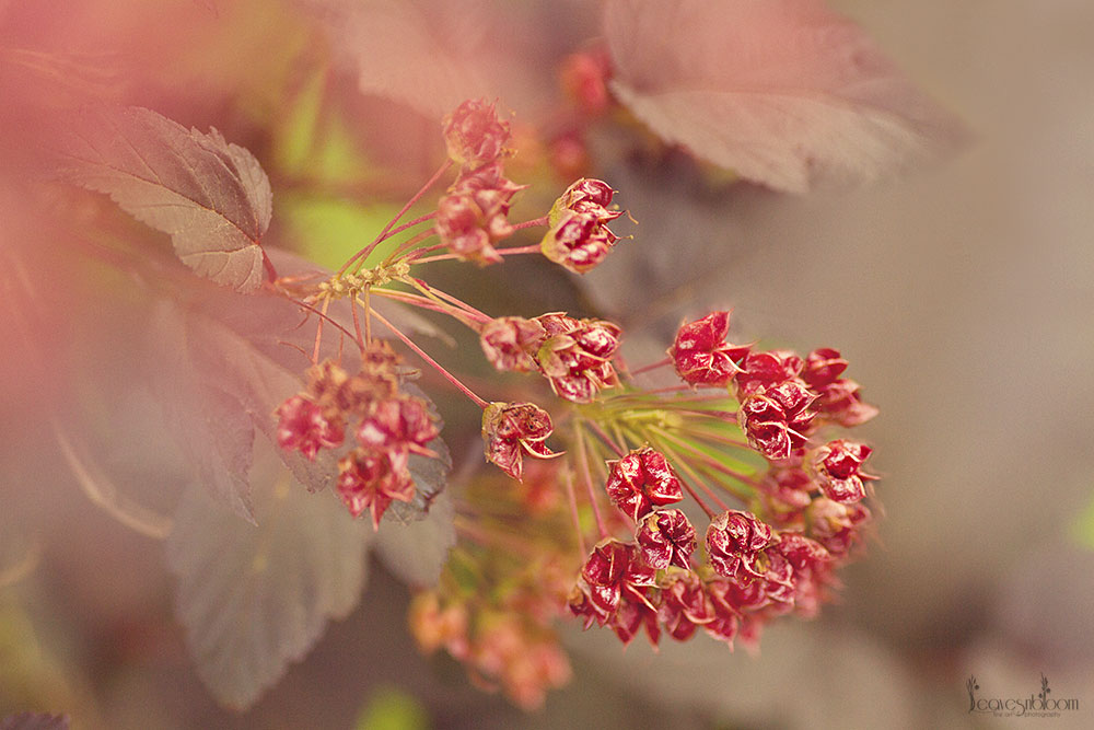 this is an image of the red clusters of seed heads on a physocarpus