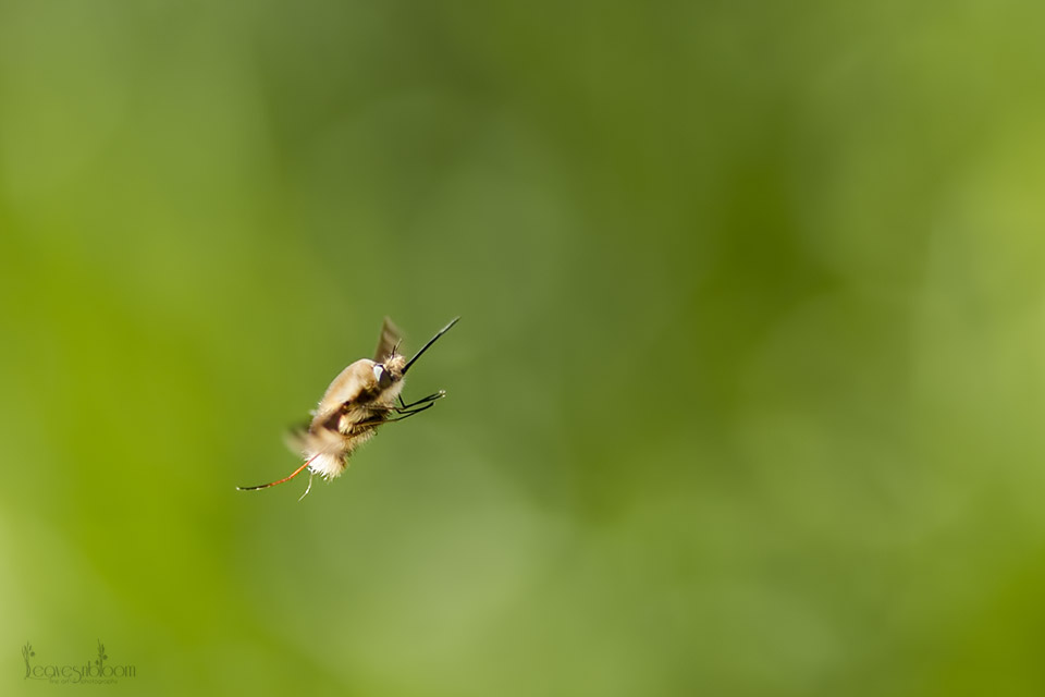 this is an image of a bee-fly that looks deadly but won't sting or bite and uses its long proboscis to drink nectar from certain plants