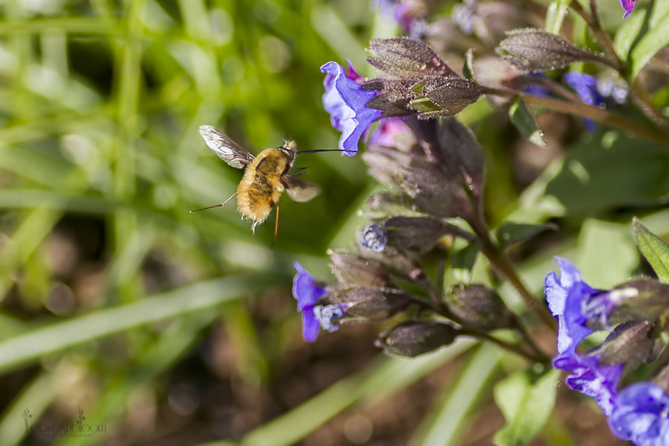 a bee-fly about to suck nectar from a blue pulmonaria flower