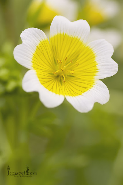 this is an image of Limnanthes douglasii - Poached Egg plants