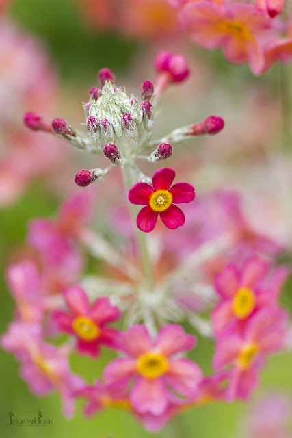 this is an image of a pink single candelabra primrose flower