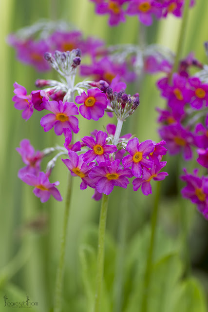 this is an image of Primula bulleyana subsp. beesiana