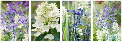 left to right: Eryngium planum 'Jade Frost', Hydrangea paniculata, Eryngium x 'Lapis Blue' and again 'Jade Frost'
