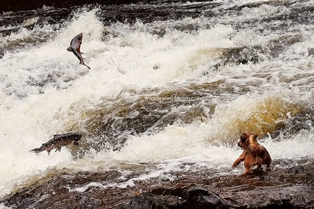 this an image of two wild scottish salmon leaping in the air with a little dog in the foreground