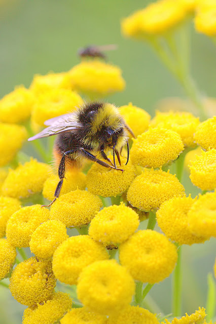 this is an image of a bee on a yellow tansy flower