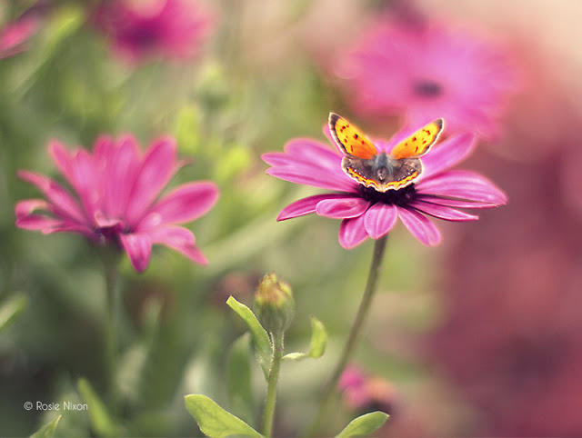 this is an image of a copper butterfly on an oestospermum pink flower