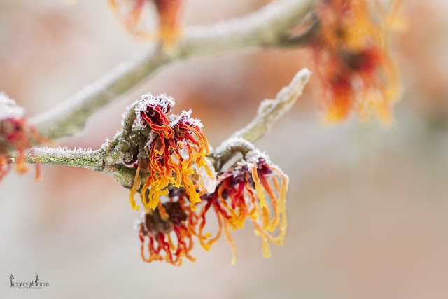 this is an image of witchhazel jelena with a dusting of snow on its orange yellow ribbon like flowers