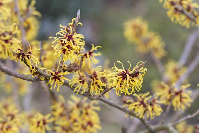 Hamamelis × intermedia 'Orange Peel'