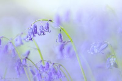 this is an image of wildflower bluebells in May