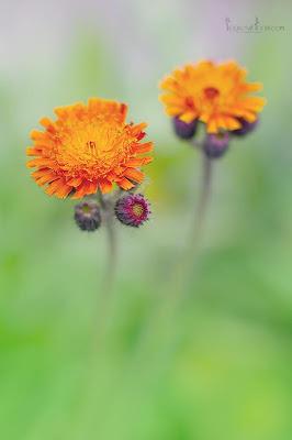 this is an image of orange hawkweed - Hieracium auranticum