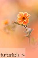 archives section orange geum - Geum totally tangerine photography tutorial thumbnail